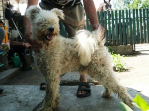 Nyirsegfia Penge, the proud dad is a white working Pumi living in Hungary bred by Csaba Zsiros.