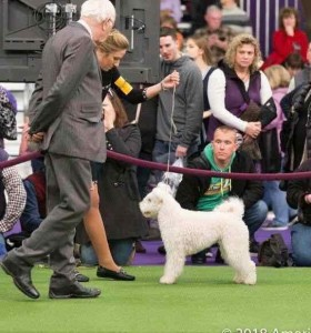 "GCH Catskill Barsony and Morgan Mattioli were spectacular at the 2018 Westminster Kennel Club Show in NYC. Barsony has placed ""SELECT BITCH"" and she has suddenly become the talk of Pumi Town, USA. She is from a rare line, a bonafide working dog with a superior disposition and close to perfect conformation."