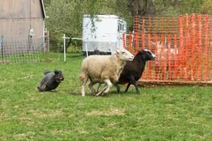 Catskill Fani in herding action