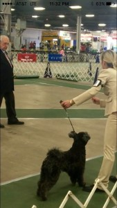 Ficko and Co-owner Nanci Haddad Blackwell in the ring. A quality dog with an ideal size, great proportions, outstanding neck, desirable hair type with one-tone coloring. Nice temperament. Ficko is someone to pay attention to.