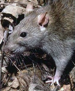 Rattus Norvegicus villain or victim of the Black Death?