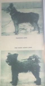Pumi or Puli?