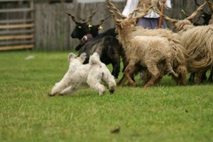 Since the Club did not Schedule a photographer for the herding event, We had no official documentation of the trial. I posted an earlier herding photo of Agyag from Hungary, in 2013