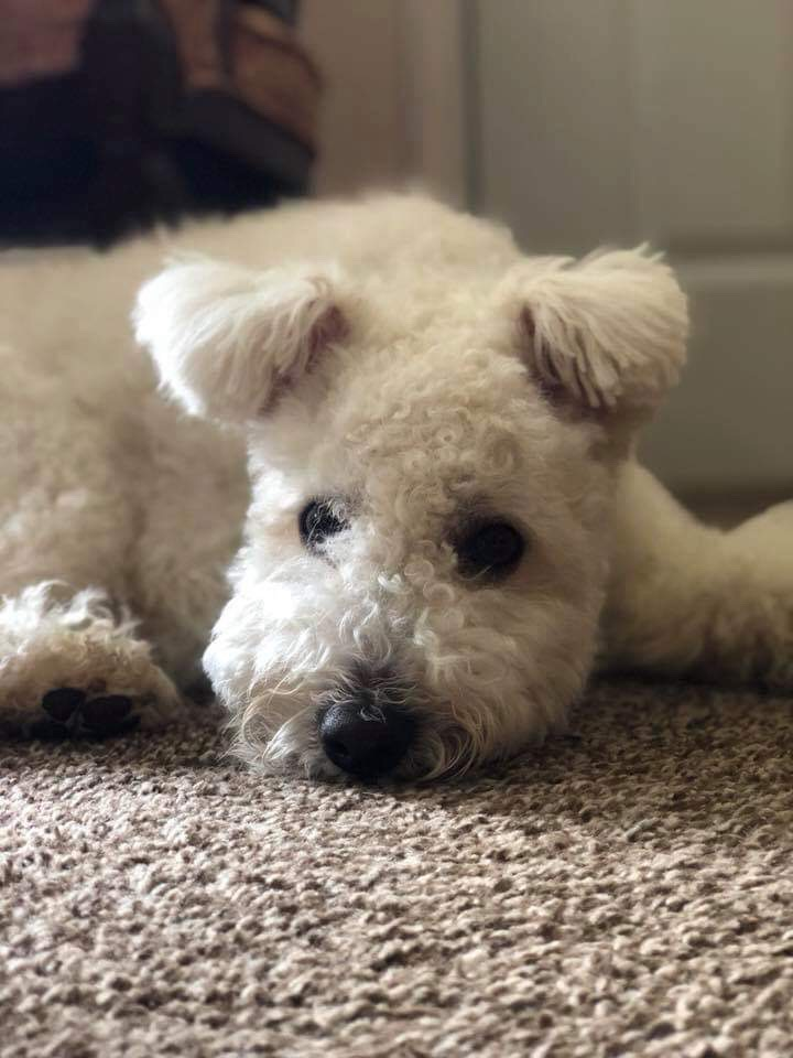 Enjoy a Pumi Puppy Fix Before the Weekend | Catskill Pumi