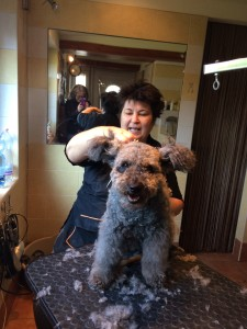 I had the opportunity to video record her with original narration how to groom a Pumi...can you see me in the picture?