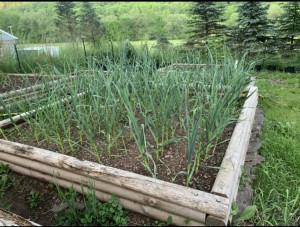 Garlic in raised bed at Catskill Pumis