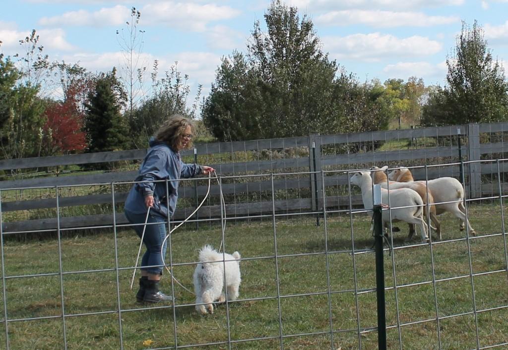 Catskill Barsony heading to the sheep's heads