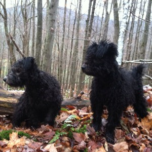 the two Catskill Pumi puppy wannabes...Anka and Ara