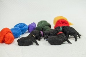Wool Roving and Puppies