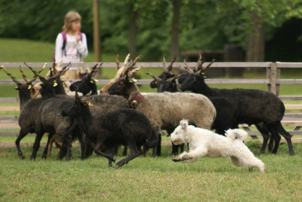 Breeds Of Sheep Herding Dogs