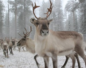 reindeers... the source of my linguistic inspiration...