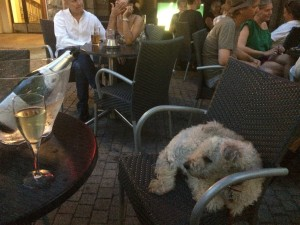 Kaffogo Agyag is chilling in the bar yesterday after we've arrived yesterday. Is in't this cool?  Ig you've ever wanted to be a dog, Helsinki is the place for it...