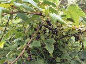 I was excited to discover a field of black currant bushes. I was harvesting from the top while Agyag was eating the low hanging fruits (no pun intended...)