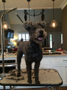 the updated unabridged edition of Asz after the grooming (he'll need some more adjustments later)