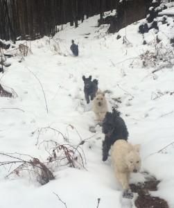 the Pumi-train is back again on the farm and running on time.