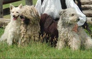 Puli, Pumi, Mudi... naming of these breeds, yes, it is certainly  a telltale for some compulsive tendencies  BUT...