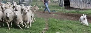 Barsony herding