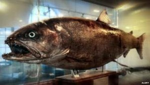 The Danube's River monster, the Huchen or Danube Salmon it can go about four feet long and weight 110lbs.